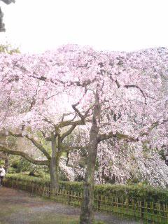 gosyosakura3.jpg