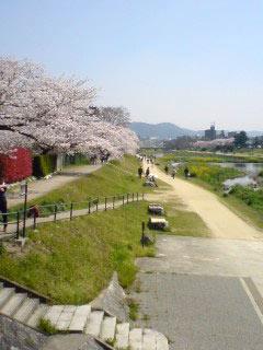 sakura-kamogawa3.jpg